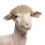 Sheep-iStock_000013836568XSmall