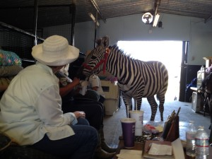 Zebra in barn