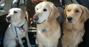"Ocho, Nemo, & Monroe: ""Dogs on Call"" provide comfort at Oso disaster Photo Credit: Kathy Knox"