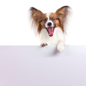 Papillon Service Dog