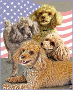 poodle, dogs,