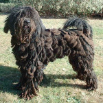 Bergamasco Shepherd A purebred dog!