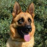 Adopt-16-ALLEX-GShepherd-Adult Male - Coastal K9 German Shepherd Rescue- San Diego CA