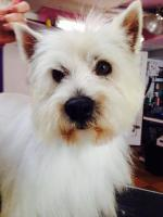 Adopt-6-CASPER-West Highland White Terrier-[Adult Male]-Humane Society for Campbell County, Rustburg, VA