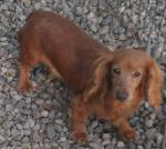 Adopt-7-NALA-Dachshund-Adult Female-Pet Resource Network Inc - Allegan Michigan