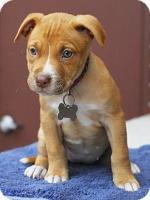 Adopt-8-PARIS-Pit Bull Terrier+Am Staffordshire Terrier-Baby Female-Home Fur-Ever-Detroit MI