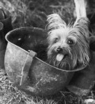 """Smoky (c. 1943 – 21 February 1957), Yorkshire Terrier and famous war dog who served in World War II. Photograph from """"Yank"""" magazine"""
