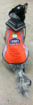 Service dog, Blue, in custom-made Lowe's vest