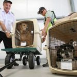 Dogs being loaded on to airplane