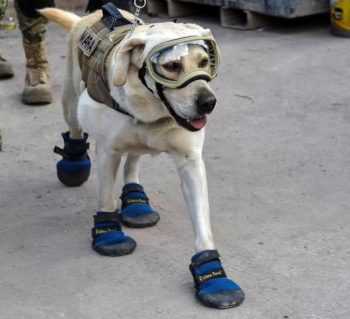 Frida, a rescue dog belonging to the Mexican Navy (Photo credit: OMAR TORRES/AFP/Getty Images)